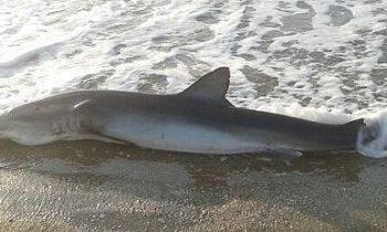 Man Helps A Stranded Shark On The Beach Give Birth